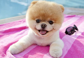 Boo, perhaps the World's Cutest Dog, has over 1 million Facbook Fans