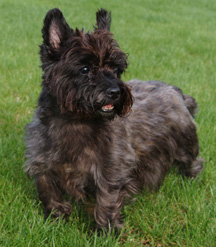 Monet - Cairn Terrier